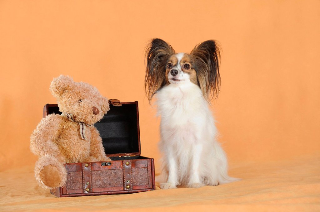 Stock Photo: 1848-722456 Papillon, sitting next to a suitcase with a teddy bear
