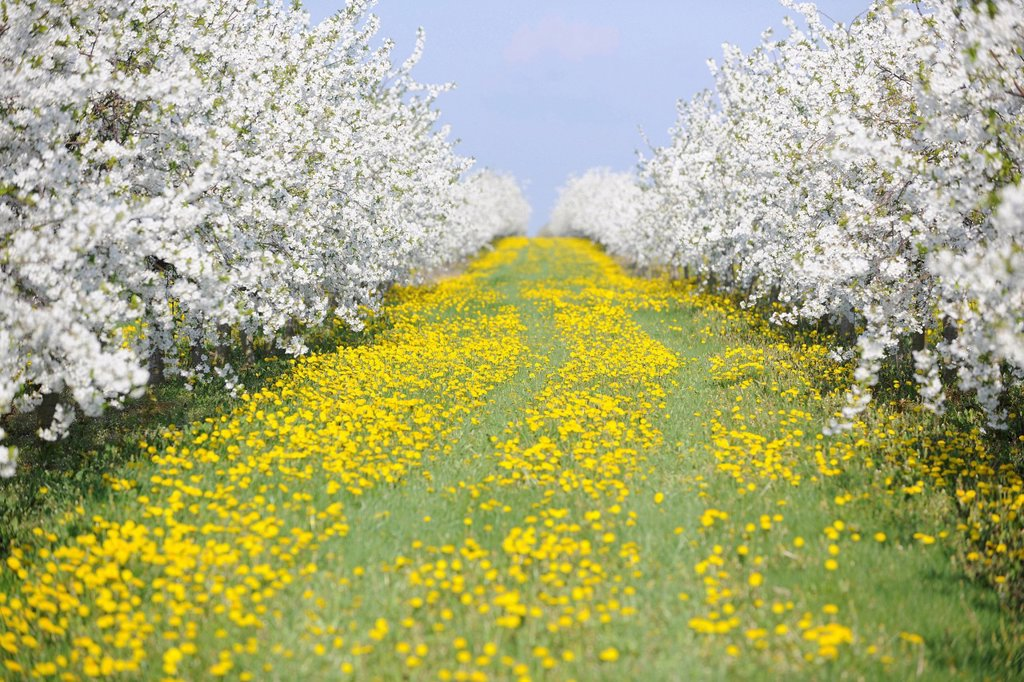 Stock Photo: 1848-723265 White blossoming fruit tree plantation with yellow Dandelions Taraxacum sect. Ruderalia, Thuringia, Germany, Europe
