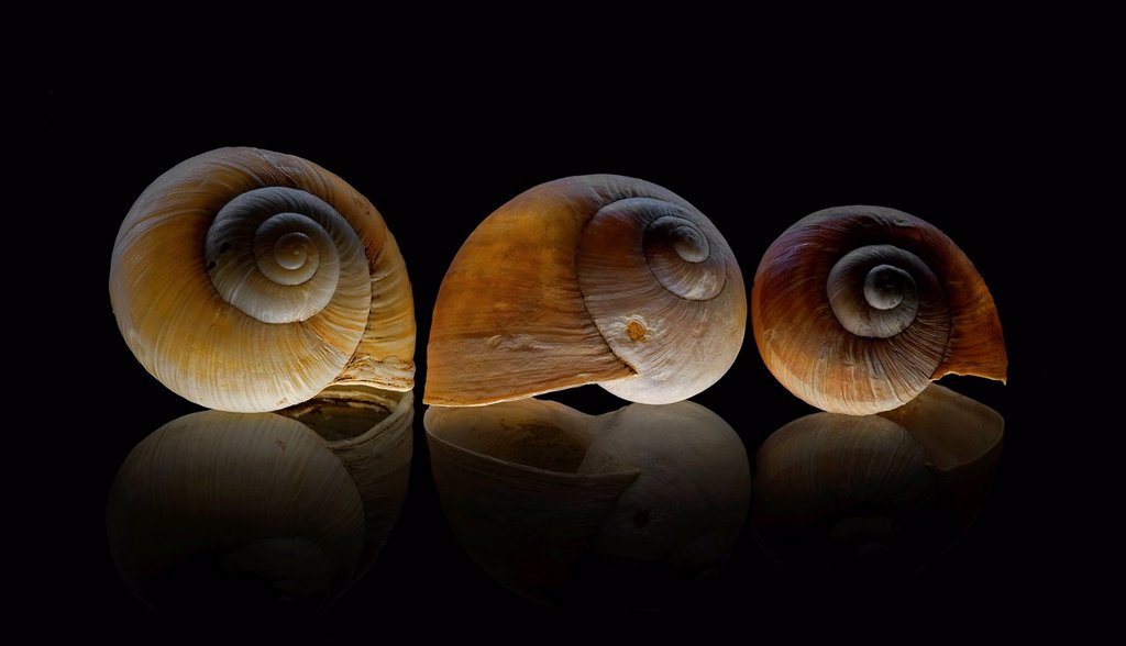 Burgundy snail Helix pomatia, shells on glass plate : Stock Photo