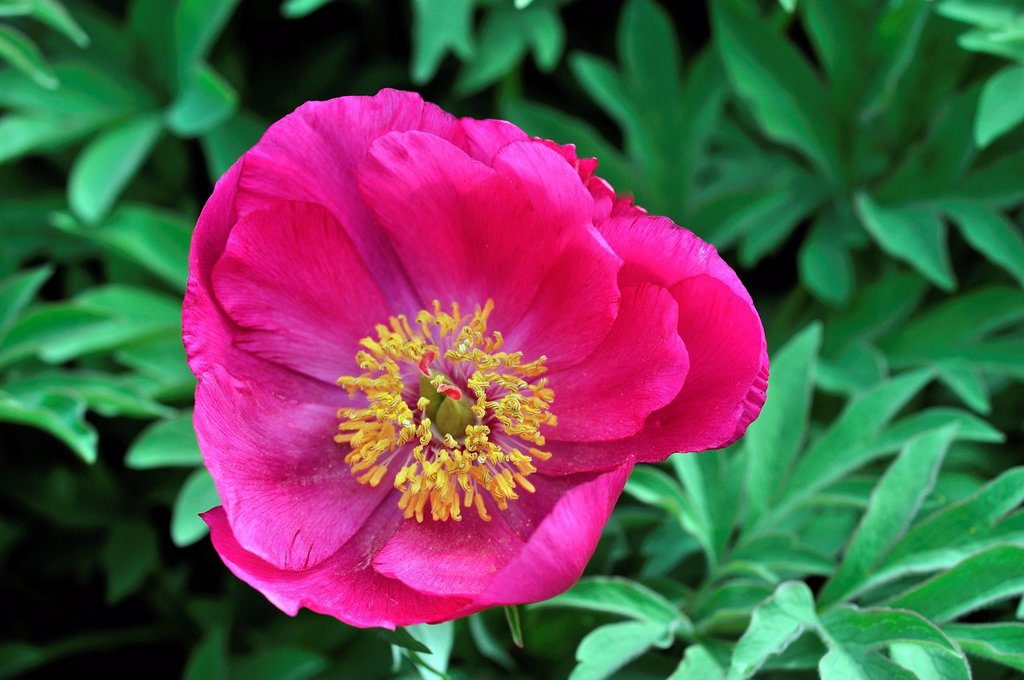 Stock Photo: 1848-723737 Low Peony Paeonia officinalis subspecies microcarpa, Southern Europe