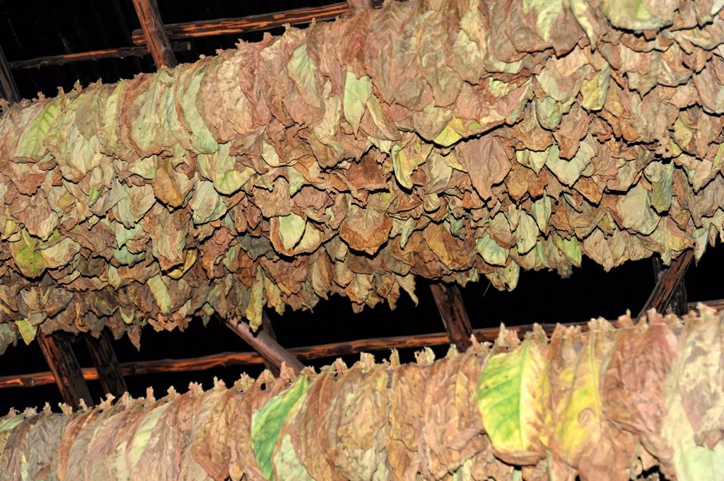 Stock Photo: 1848-724173 Tobacco in a curing barn, tobacco leaves, Tobacco Nicotiana, tobacco cultivation in the Valle de Vinales National Park, Vinales, Province of Pinar del Rio, Cuba, Greater Antilles, Caribbean, Central America, America
