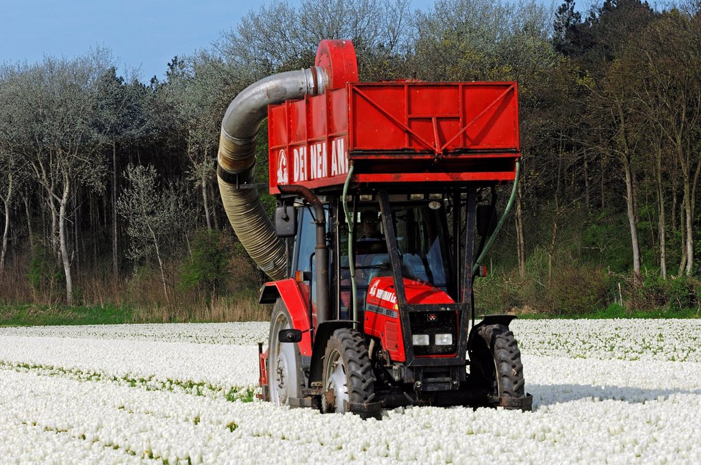 Field of Tulips, flowers being harvested mechanically with a tractor, Lisse, South Holland, Holland, Netherlands, Europe : Stock Photo