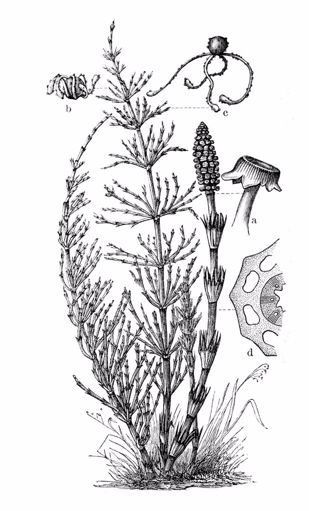 Stock Photo: 1848-724751 Horsetail Equisetum arvense, historical illustration, Meyers Konversationslexikon encyclopedia, 1897