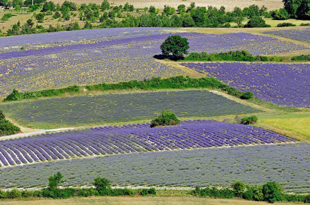 Fields of Lavender Lavandula angustifolia, Vaucluse, Provence_Alpes_Cote d´Azur, Southern France, France, Europe, PublicGround : Stock Photo