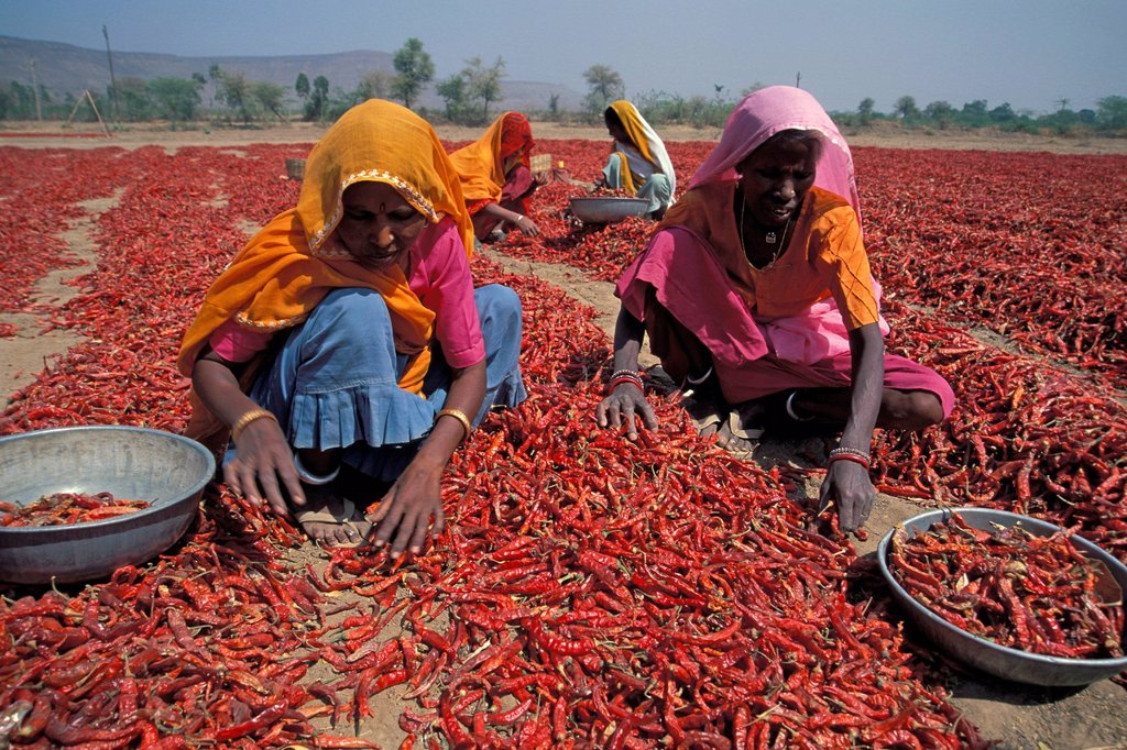 Stock Photo: 1848-725741 Women during the chili harvest, Madhya Pradesh, India, Asia