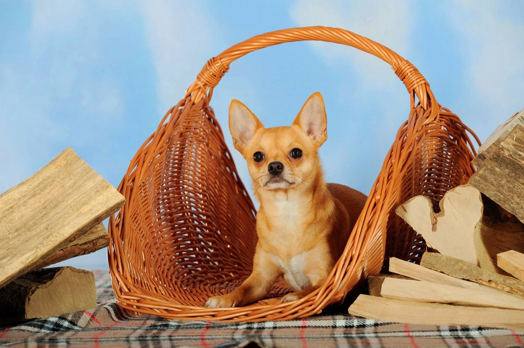 Chihuahua lying in a wicker basket next to logs : Stock Photo