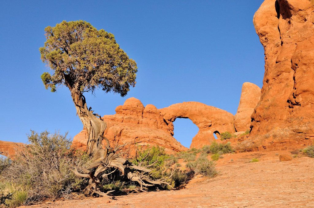 Stock Photo: 1848-725810 Utah Juniper Juniperus osteosperma, Turret Arch, rock bridge or natural arch in Arches National Park, Utah, USA
