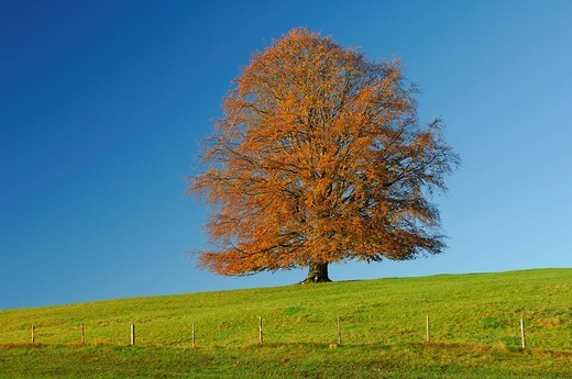 Copper Beech Fagus sylvatica, Allgaeu, Bavaria, Germany, Europe : Stock Photo