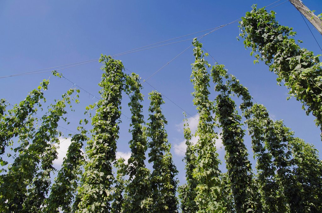Field of Hops Humulus, hops cultivation in the Hallertau, Holledau or Hollerdau area, Mainburg, Bavaria, Germany, Europe : Stock Photo