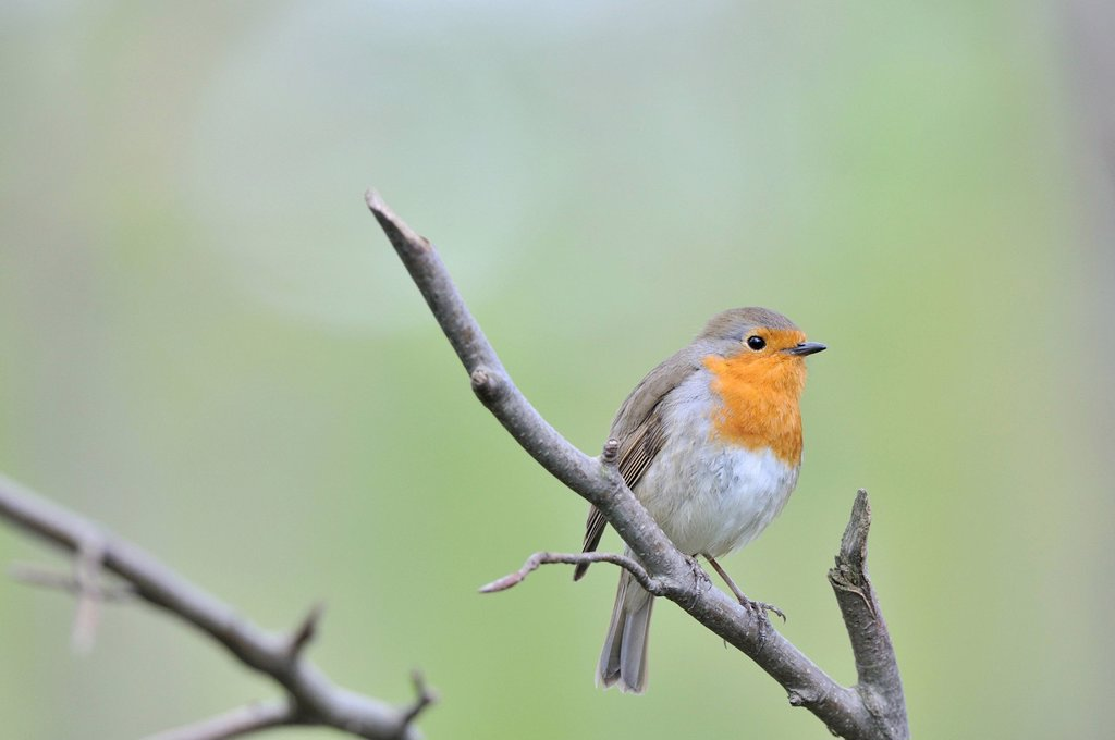 Robin Erithacus rubecula, Leipzig floodplain forest, Saxony, Germany, Europe : Stock Photo