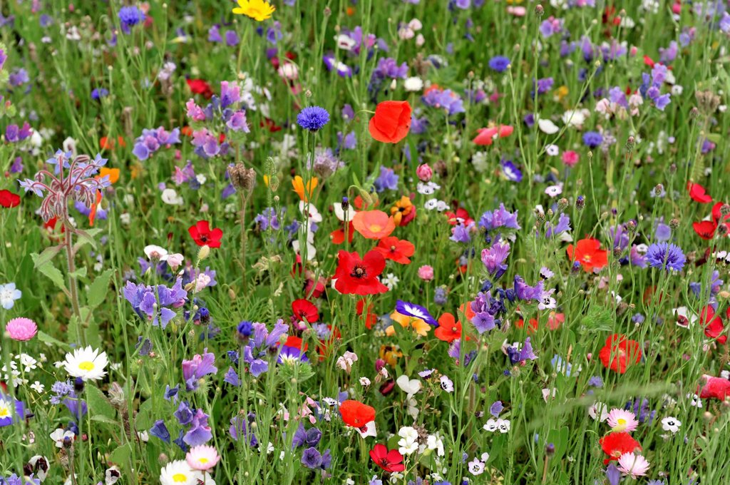 Stock Photo: 1848-726749 Flowering meadow with Field poppies Papaver rhoeas and Cornflowers Centaurea cyanus, Schwaebisch Gmuend, Baden_Wuerttemberg, Germany, Europe