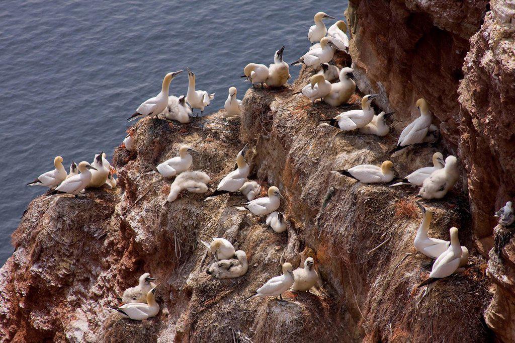 Stock Photo: 1848-727478 Gannets Morus bassanus, Sula bassana breeding area, bird cliffs of Heligoland, Schleswig_Holstein, Germany, Europe