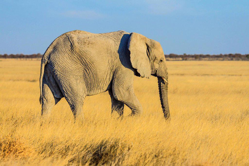 African elephant Loxodonta africana, Etosha National Park, Namibia, Africa : Stock Photo
