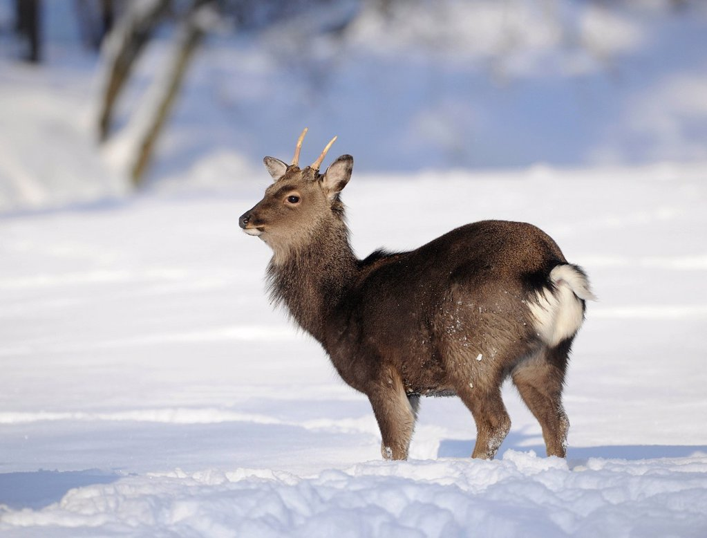 Stock Photo: 1848-727861 Sika deer or Japanese deer Cervus nippon, in winter coat, in the snow, Bavarian Forest, Germany, Europe