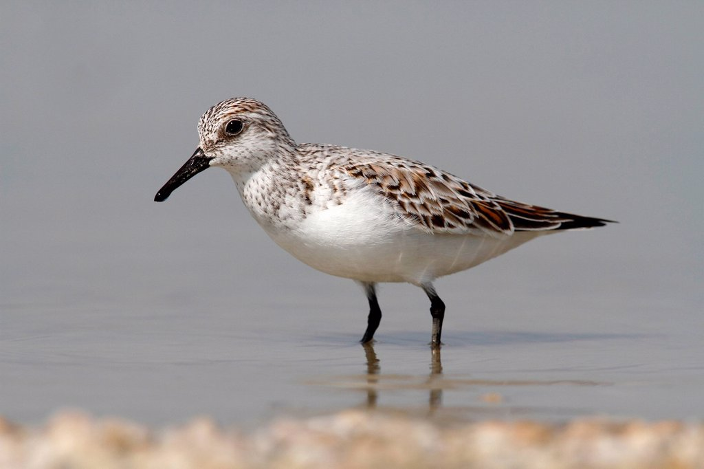 Stock Photo: 1848-727933 Sanderling Calidris alba standing in shallow water, Apetlon, Lake Neusiedl, Burgenland, Austria, Europe
