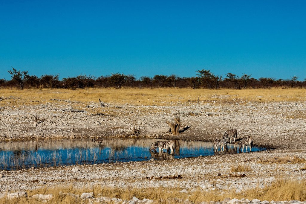 Stock Photo: 1848-728182 Plains Zebras Equus quagga, Etosha National Park, Namibia, Africa