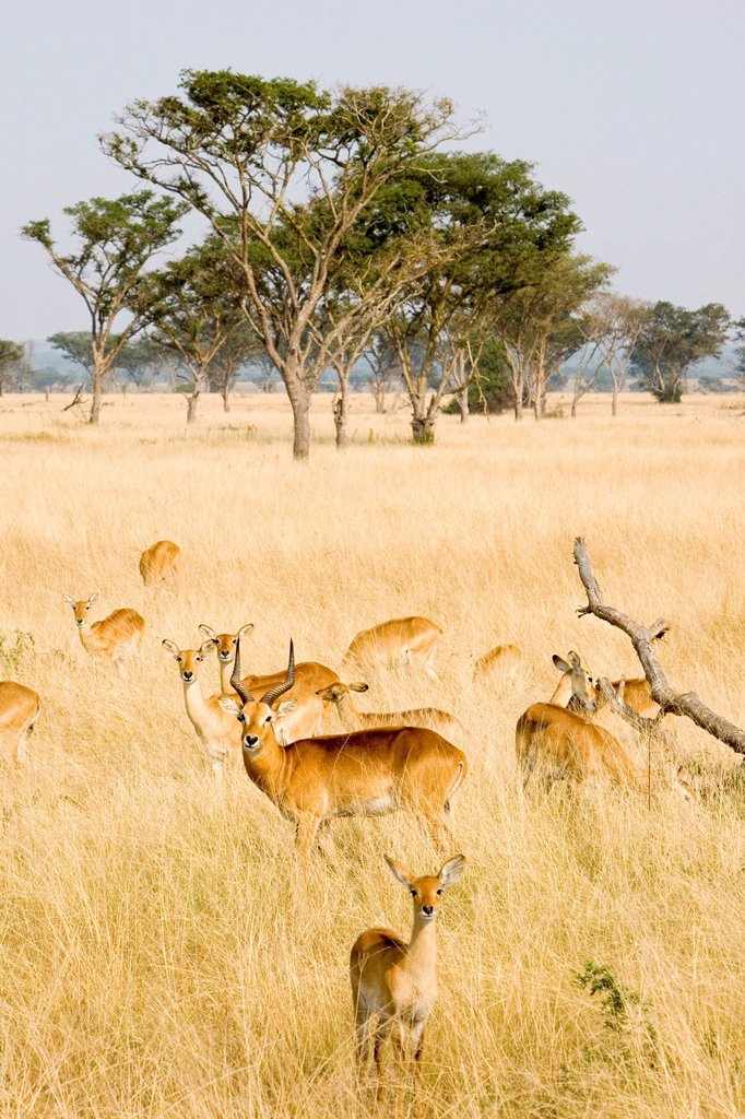 A group of Ugandan kobs Kobus kob thomasi, dry savannah near Ishasha, Queen Elizabeth National Park, Uganda, Africa : Stock Photo