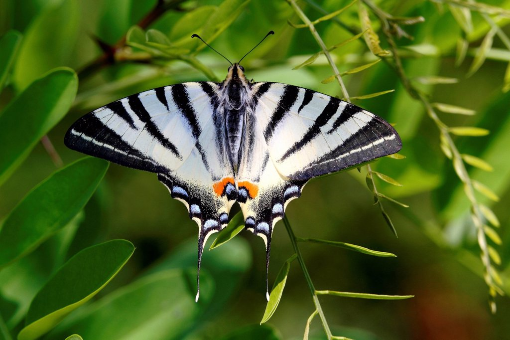 Stock Photo: 1848-728391 Scarce Swallowtail Iphiclides podalirius, Illmitz, Lake Neusiedl, Burgenland, Austria, Europe