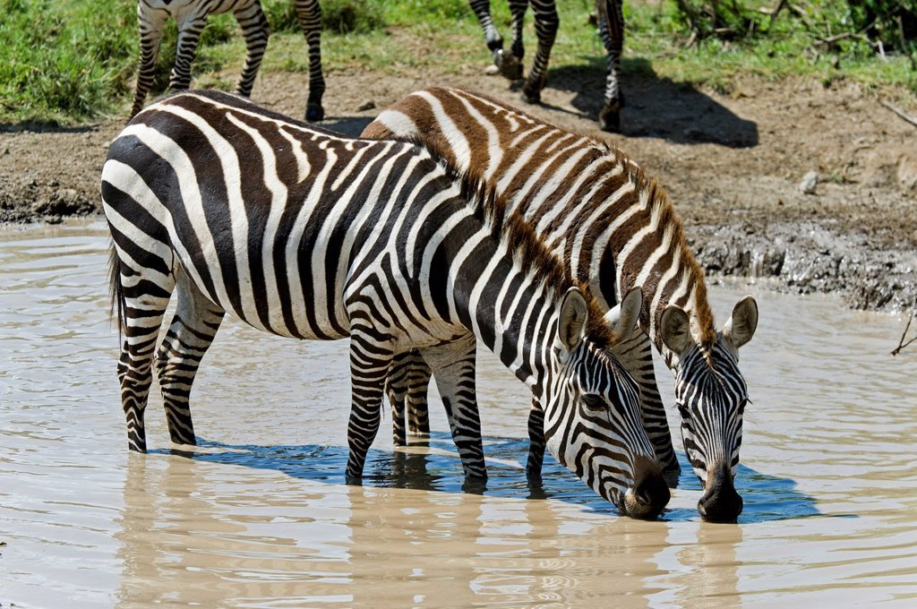 Stock Photo: 1848-728399 Plains Zebras Equus quagga at a water hole, Ngorongoro Conservation Area, UNESCO World Heritage Site, Tanzania, Africa