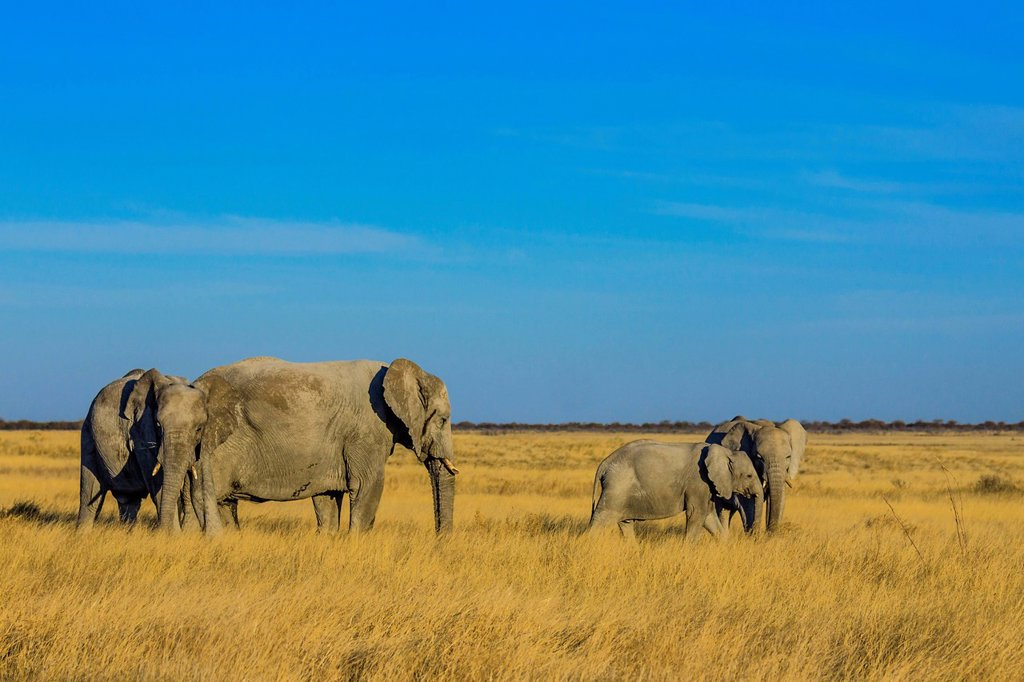 African elephant Loxodonta africana, elephant family with young, Etosha National Park, Namibia, Africa : Stock Photo