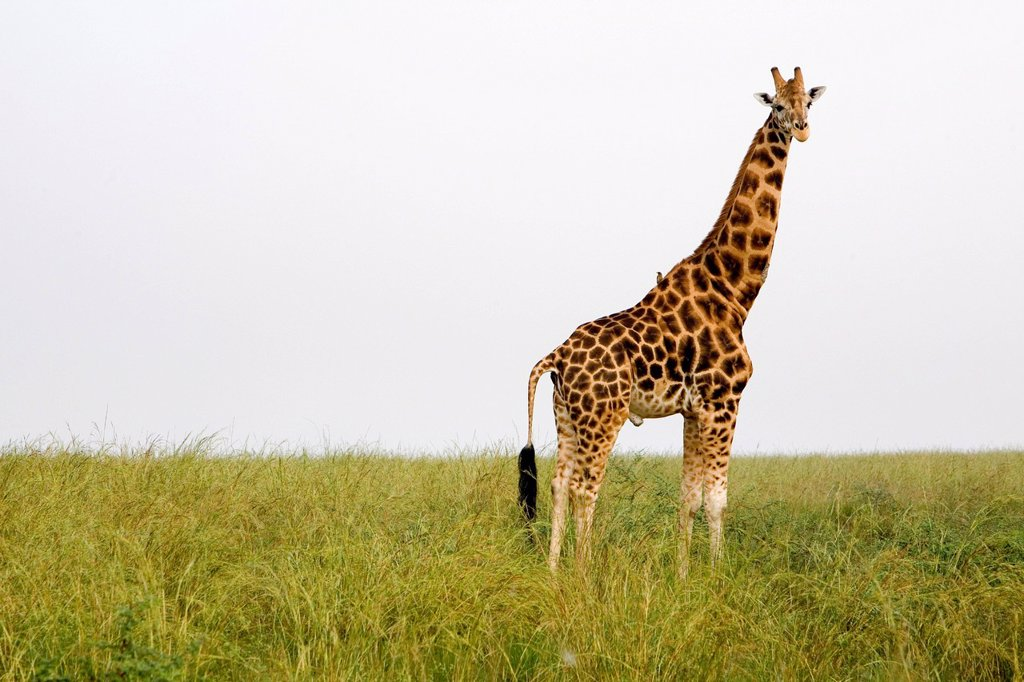 Stock Photo: 1848-728674 Rothschild´s giraffe Giraffa camelopardalis, a very endangered subspecies, savannah in the Murchison Falls National Park, Paraa, Uganda, Africa