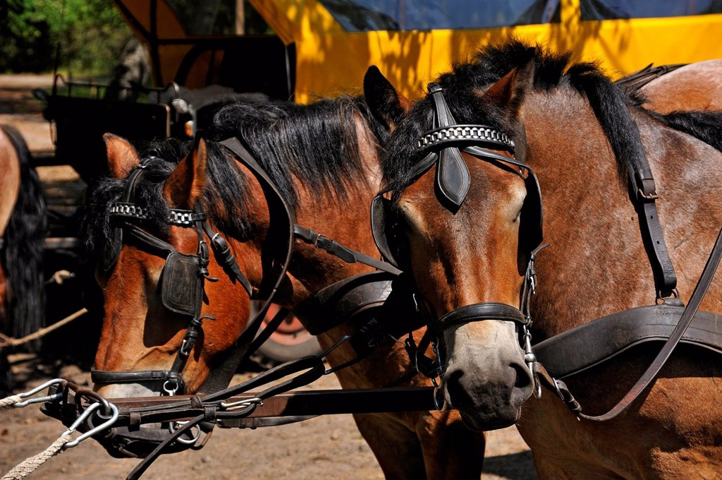 Stock Photo: 1848-728778 Horses of a horse taxi with blinkers, Darsser Ort, Baltic Resort of Prerow, Darss, Mecklenburg_Western Pomerania, Germany, Europe