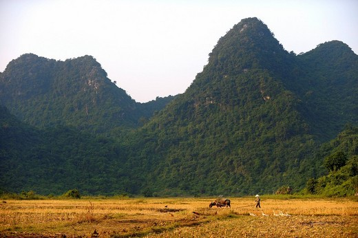 Farmer and ox in front of karst mountains, Ninh Binh, North Vietnam, South East Asia : Stock Photo
