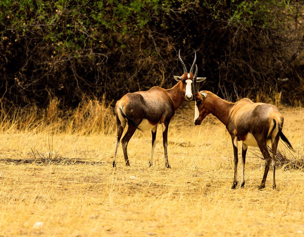 Blesboks or blesbucks Damaliscus pygargus phillipsi, male and female, Nambia, Africa : Stock Photo