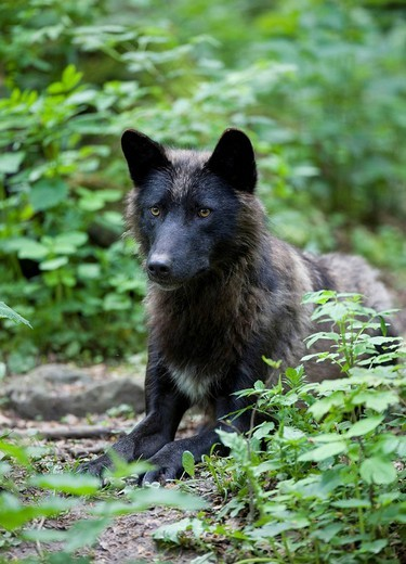 Eastern Canadian Wolf Canis lupus lycaon, black variant : Stock Photo