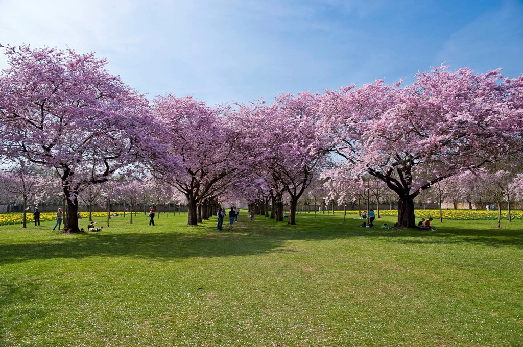 Stock Photo: 1848-730502 Schwetzingen Castle, castle garden, Japanese Cherry Trees Prunus serrulata, Schwetzingen, Electoral Palatinate, Baden_Wuerttemberg, Germany, Europe