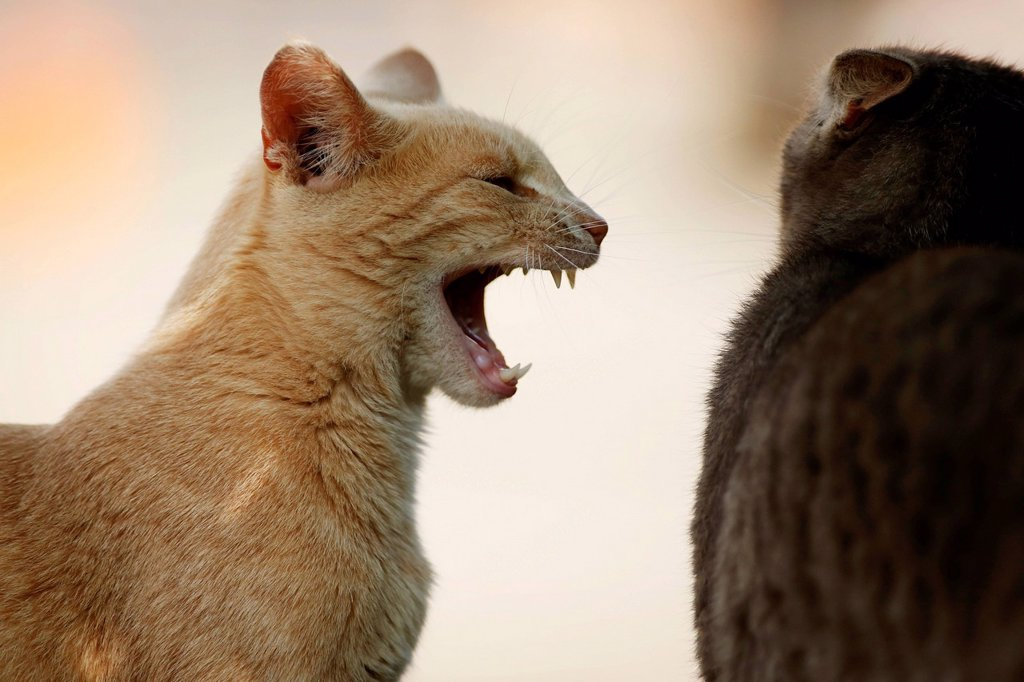Two cats fighting, a red tabby cat hissing at a silver gray tabby cat : Stock Photo