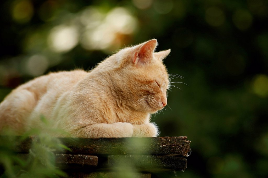 Stock Photo: 1848-731762 Red tabby village cat lying asleep on a bench