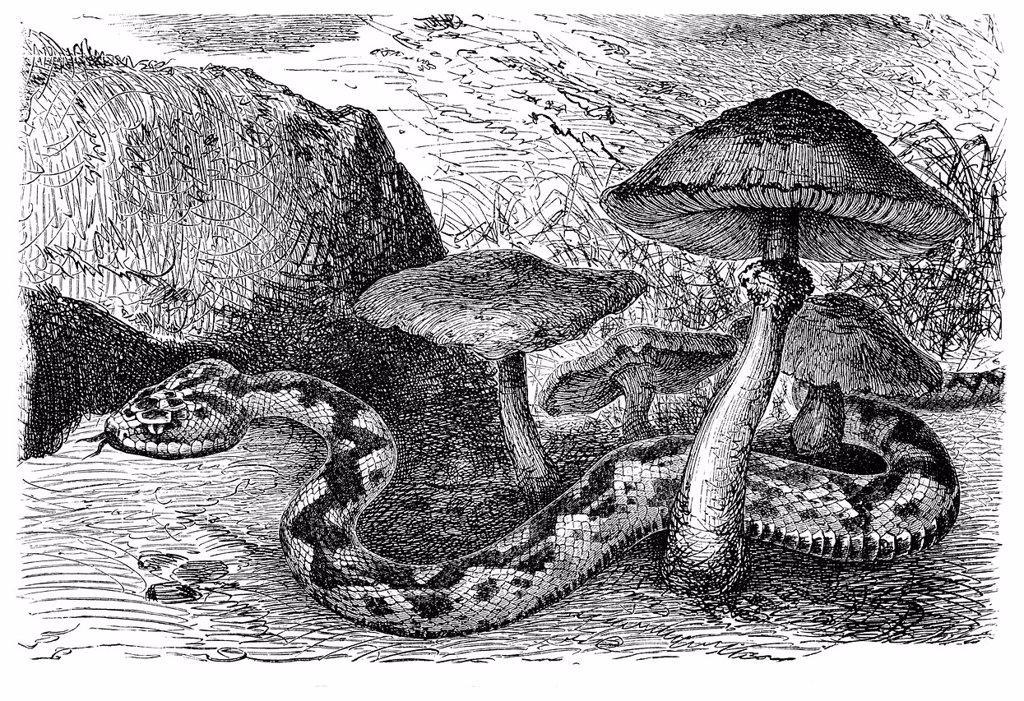Stock Photo: 1848-732850 Common European viper Pelias berus, historical illustration, Meyers Konversations_Lexikon encyclopedia, 1897