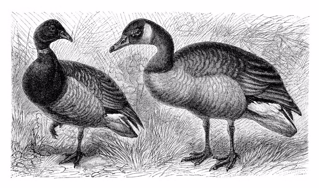 Stock Photo: 1848-732899 Brent goose Branta bernicla on the left, Canada goose Anser canadensis on the right, historical illustration, Meyers Konversations_Lexikon encyclopedia, 1897