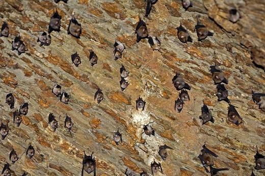 Stock Photo: 1848-73586 Horseshoe bat Rhinolophus spec. in a cave in Khao Yai National park in thailand