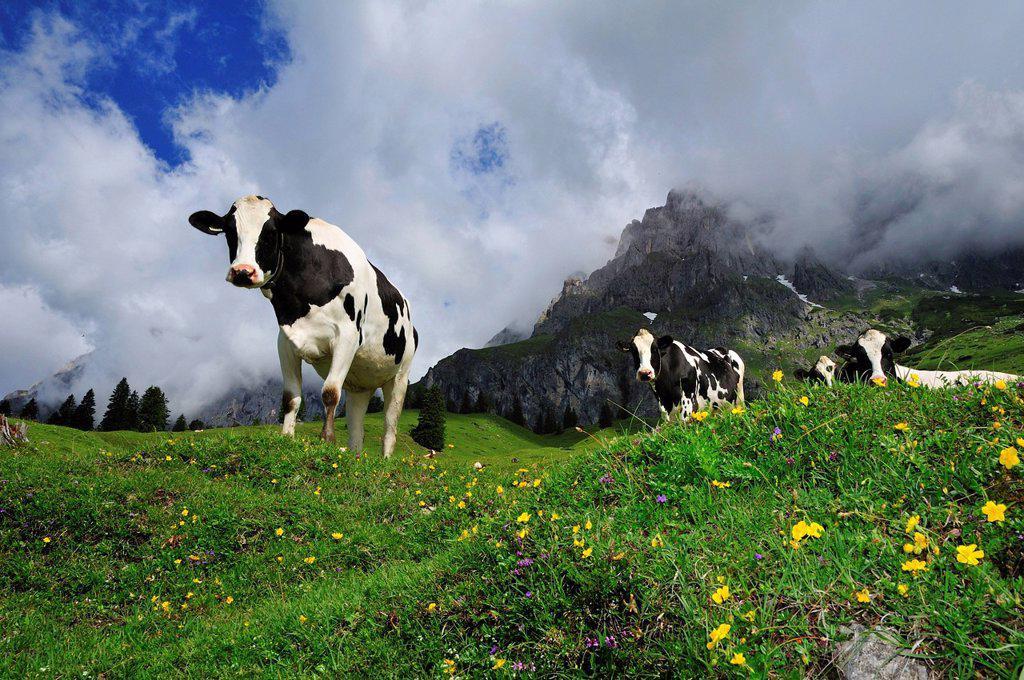 Stock Photo: 1848-741958 Cows grazing on the pasture, Hochkoenig massif, Muehlbach, Salzburg, Austria, Europe