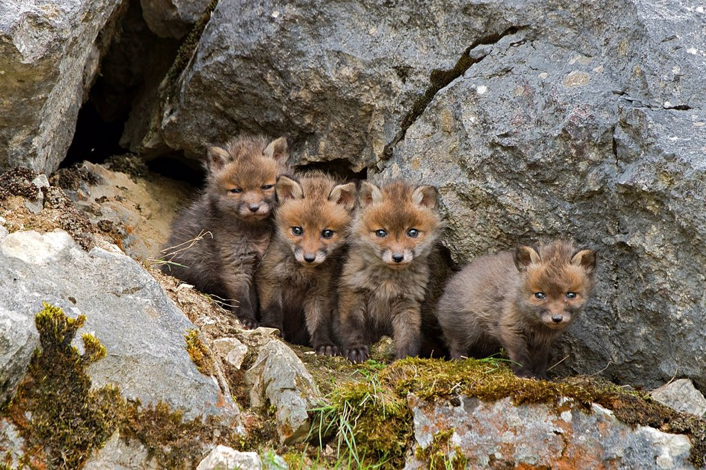 Stock Photo: 1848-742720 Red foxes Vulpes vulpes, cubs, Schopfloch, Swabian Jura, Baden_Wuerttemberg, Germany, Europe