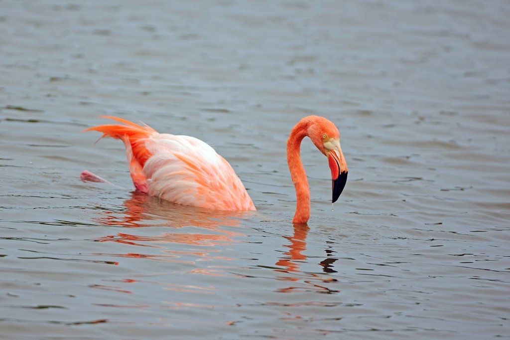 Stock Photo: 1848-742880 American Flamingo Phoenicopterus ruber in the water, Isabela Island, Galapagos Islands, UNESCO World Heritage Site, Ecuador, South America