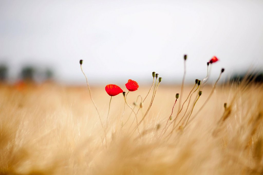 Corn Poppy Papaver rhoeas in a field of Barley Hordeum vulgare near Elstal, Havelland, Brandenburg, Germany, Europe : Stock Photo