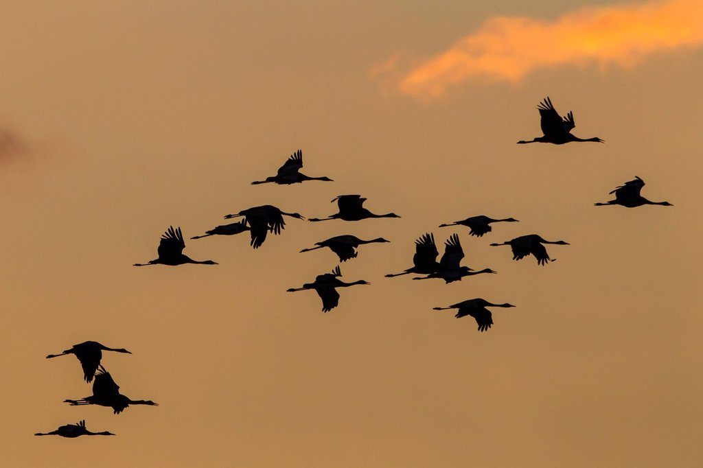 Stock Photo: 1848-747048 Cranes Grus grus in flight at sunset, Ruegen Island, Mecklenburg_Western Pomerania, Germany, Europe