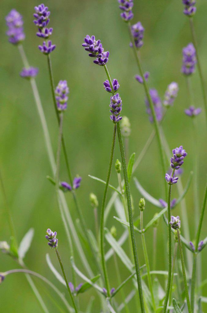 Stock Photo: 1848-748505 Lavender Lavandula angustifolia, Schwaz, Tyrol, Austria, Europe