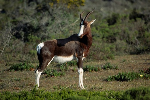 Bontebok Damaliscus dorcas dorcas, South Africa : Stock Photo