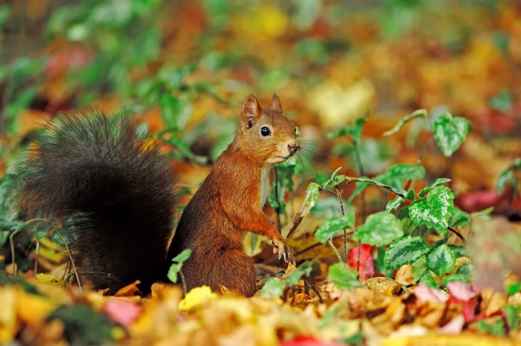Red Squirrel Sciurus vulgaris, North Rhine_Westphalia, Germany, Europe : Stock Photo