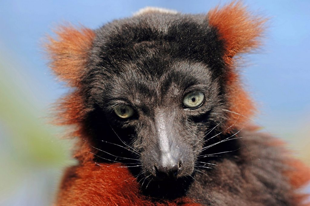 Stock Photo: 1848-749533 Red Ruffed Lemur Varecia variegata rubra, Varecia variegata ruber, portrait, Madagascar, Africa