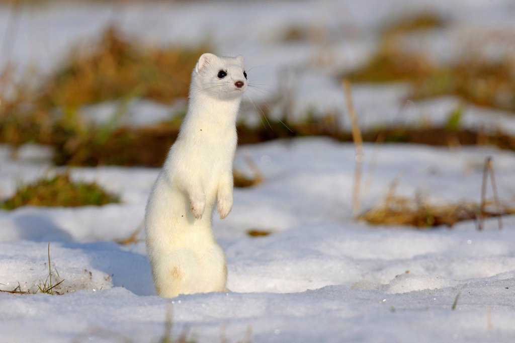 Stock Photo: 1848-750073 Stoat or Ermine Mustela erminea in its winter coat, standing on its hind legs, looking out for safety, biosphere reserve, Swabian Alb, Baden_Wuerttemberg, Germany, Europe