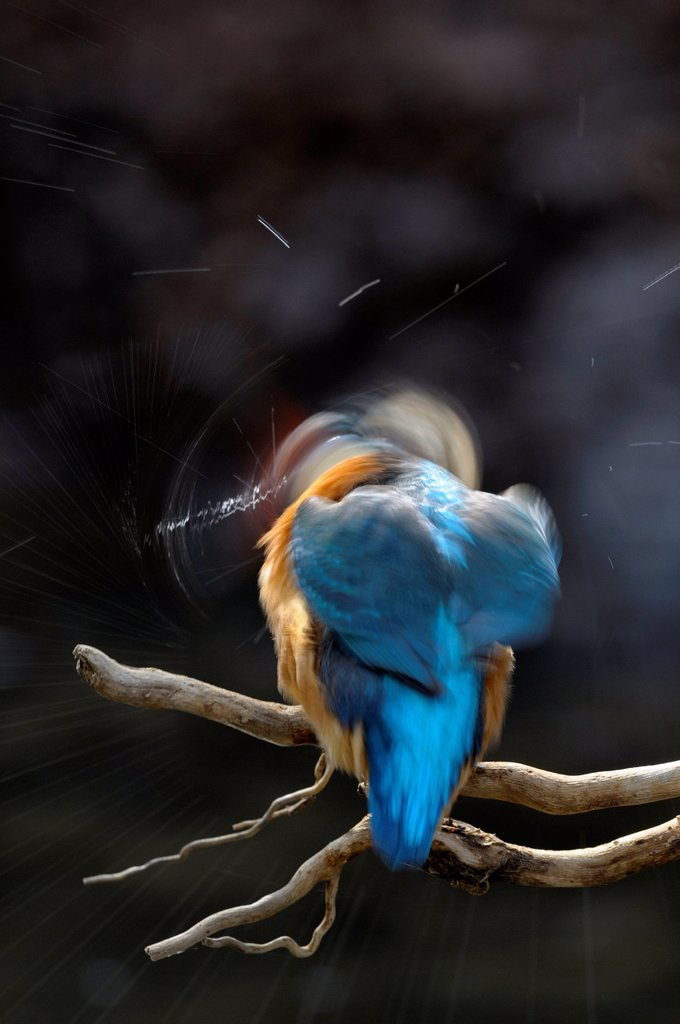 Stock Photo: 1848-750582 Kingfisher Alcedo atthis, shaking water from its feathers, biosphere reserve, Swabian Alb, Baden_Wuerttemberg, Germany, Europe