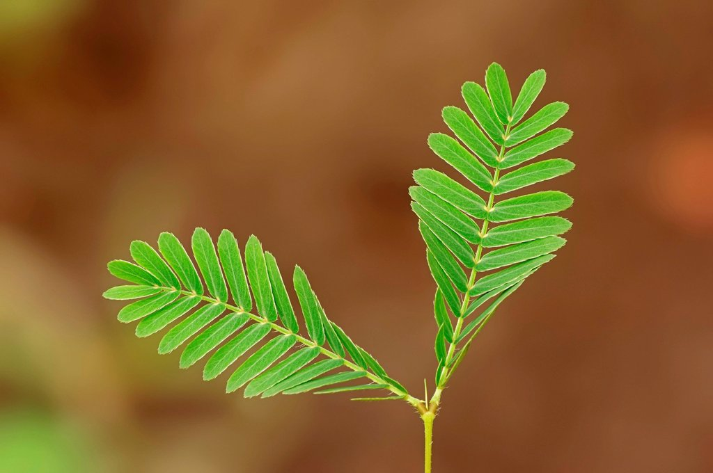 Mimosa, Sensitive Plant or Touch_me_not Mimosa pudica, leaves, native to South America, ornamental plant : Stock Photo