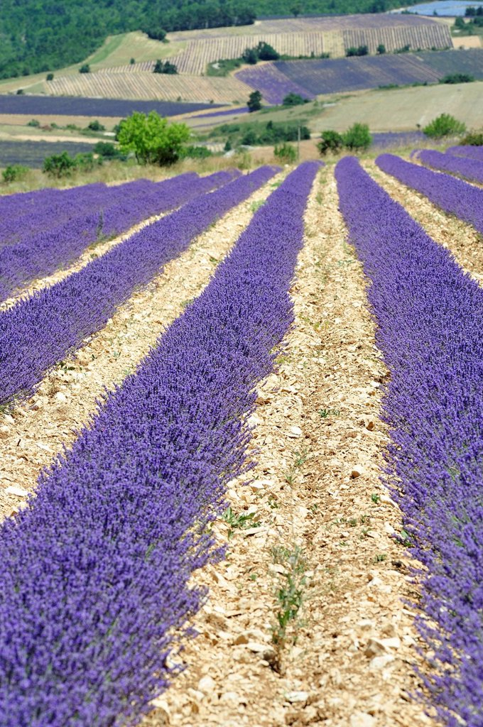 Stock Photo: 1848-752131 Lavender field, Sault, Provence, France, Europe