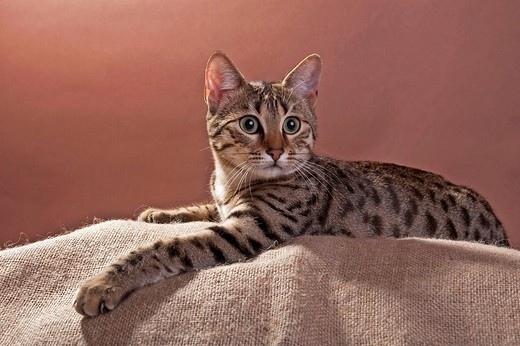 Egyptian Mau cat, bronze, lying : Stock Photo