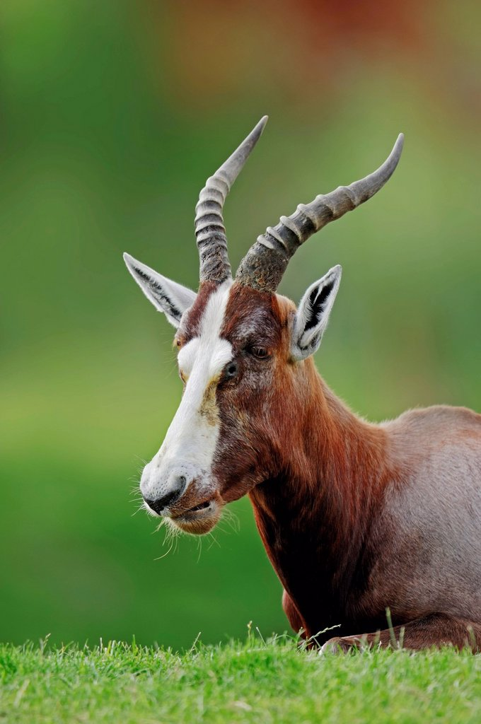 Blesbok or Blesbuck Damaliscus dorcas phillipsi, male, native to Africa, in captivity, Germany, Europe : Stock Photo